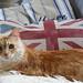the brit cat