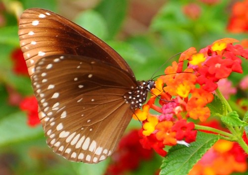 Common Indian Crow Butterfly, Euploea core Cramer on Lantana | by PL Tandon (Thanks for 2.9 Million+ views)