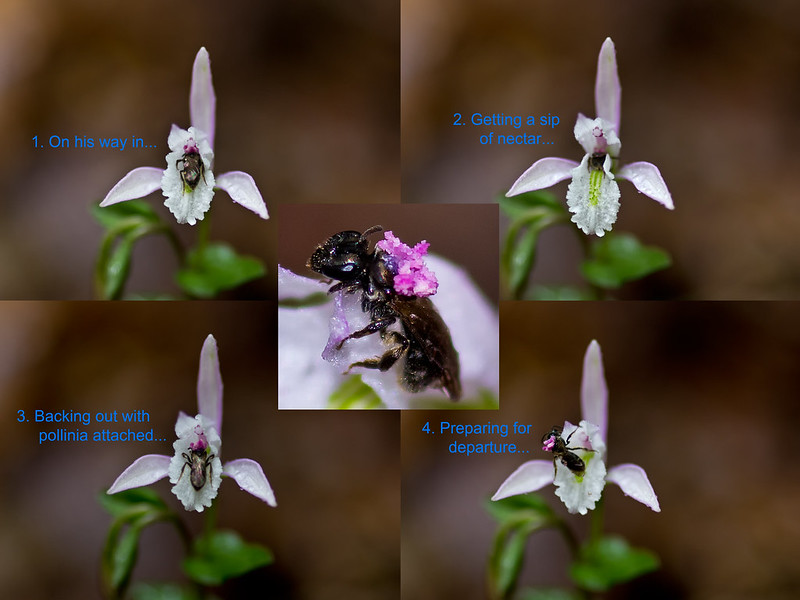 Pollination of Three-birds orchids by halicted bee