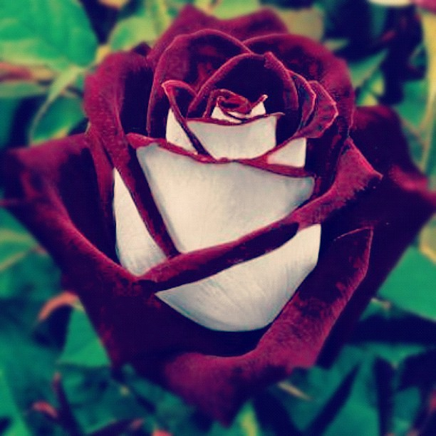 The most beautiful flower flower rose instagram instag for What is the most beautiful flower on earth
