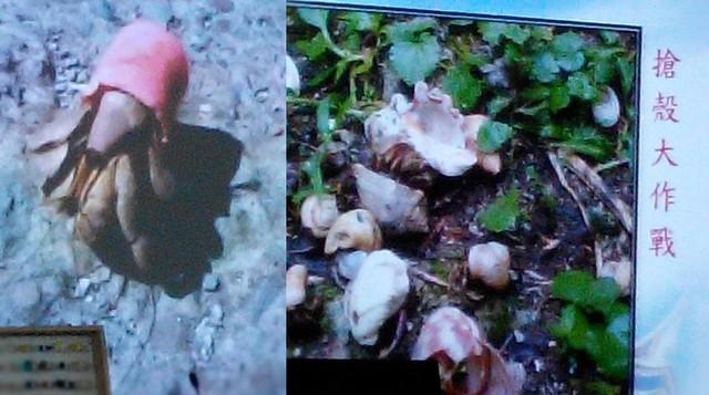 塑料瓶蓋對寄居蟹完全沒幫助,不像貝殼能讓寄居蟹螺旋狀的勾住自己,也無法縮進瓶蓋內,稍碰到就會掉出來;沒保濕作用,太陽一曬很快就會死掉。瑭芯攝