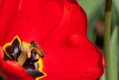 honey bee on a tulip | by cordfish