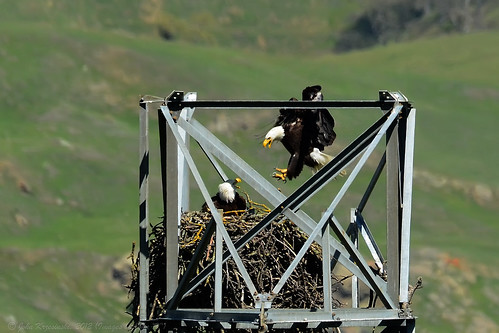 "Bald Eagle Watch 2012: ""Hi honey, I'm home"" ... ""Yeah, and you're LATE"" 