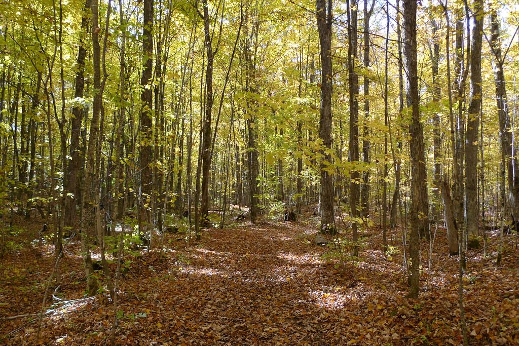 Beautiful maple beech forest near the