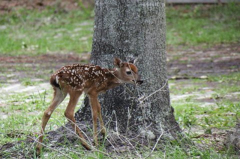 Baby white-tailed deer | Kathy | Flickr - photo#38