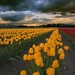 Yellow Tulips and a Stormy Sky, Skagit Valley Tulip Festival
