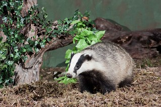 Wild Badger | by BROTY1