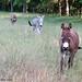 Donkeys heading in for happy hour - FarmgirlFare.com