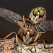 Robberfly fun time