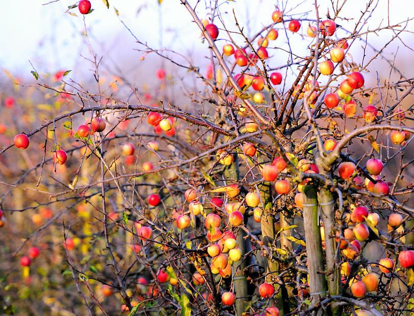 2036 apfelbaum im herbst apfelplantage mit pfeln in ham flickr. Black Bedroom Furniture Sets. Home Design Ideas