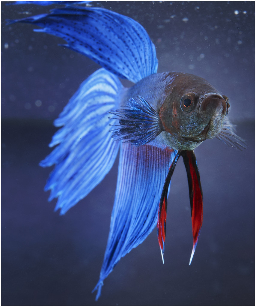 All sizes male betta fish flickr photo sharing for Betta fish size