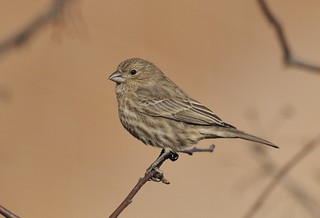House Finch | by Bill.Thompson