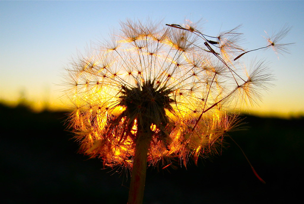 nature sunset grass dandelion - photo #24