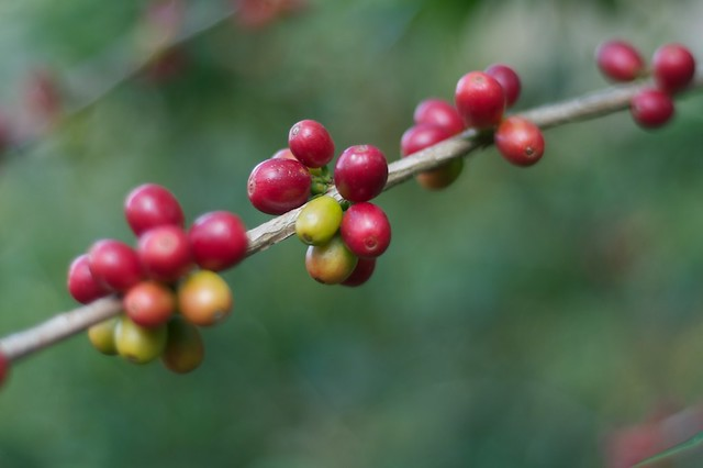Berries from the Ethiopian Coffea plant