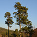 030212-two-pines