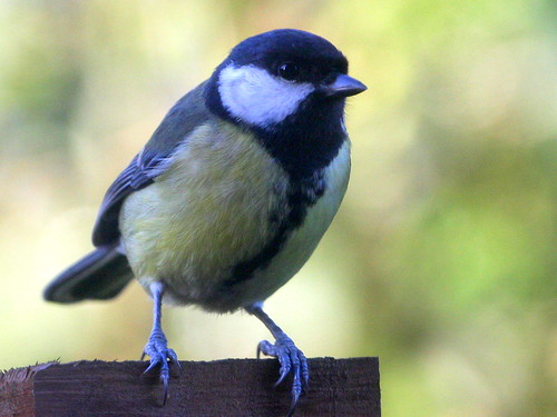 Great Tit. | by wurzel.pete.1.8 Million views,Thanks.