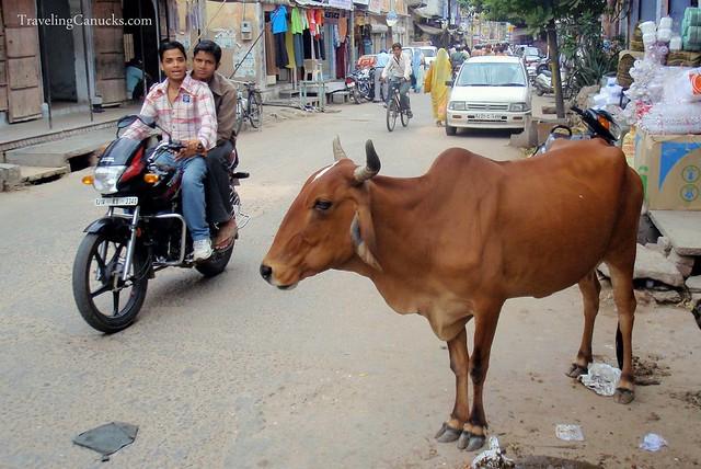 jangan-gangguin-sapi-di-india-kalo-ga-mau-mati-gan