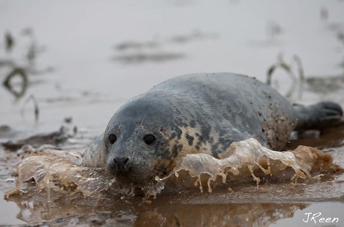 Grey Seal Pup Donna Nook 31 Dec 2011 | by Jan Reen