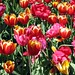 Araluen National Park...tulips