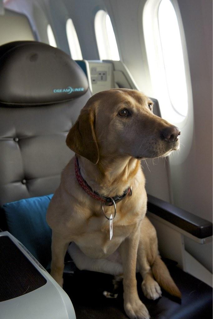 Zachi the dog on Boeing 787