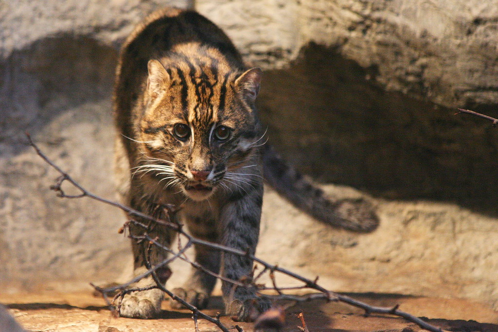 Fishing cat at cleveland metroparks zoo cleveland ohio for Cleveland metroparks fishing report