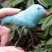 Celeste Bluebird