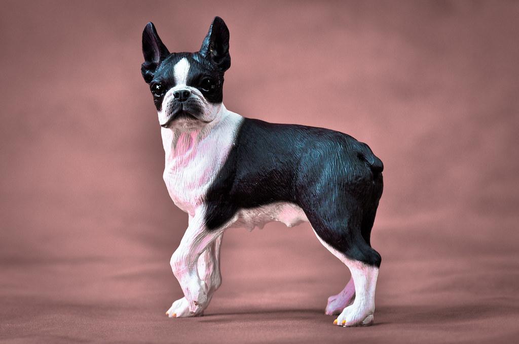 B Is For Boston Terrier Boston Terrier | A Bos...