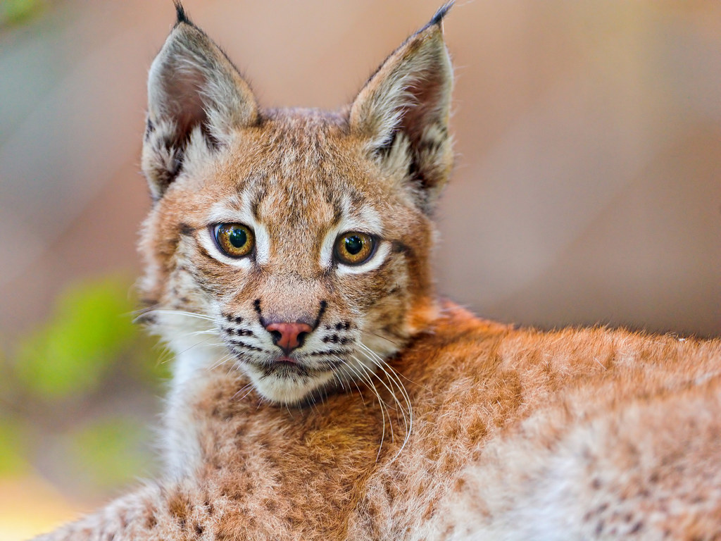 The Baby Lynx Posing |