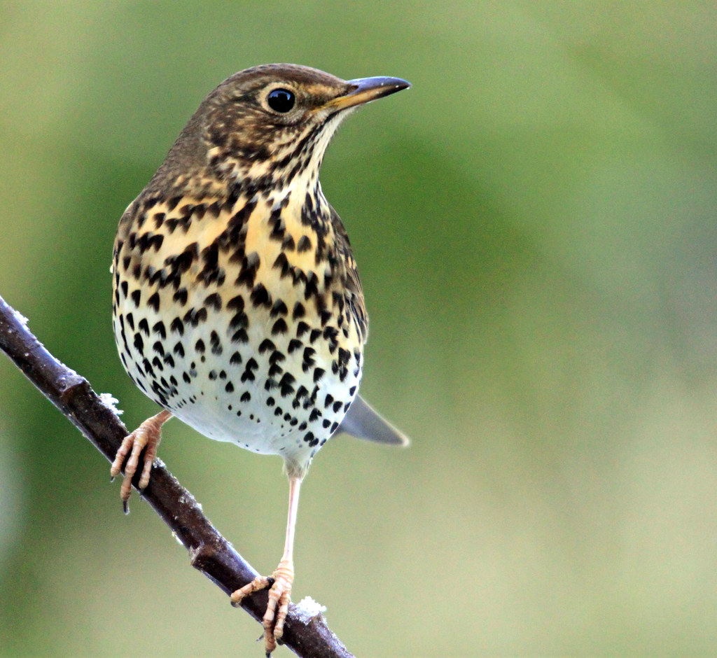 Song Thrush (Turdus philomelos) | This bird eats biscuit