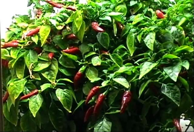 Super chili hybrid pepper capsicum annum super chili flickr photo