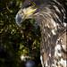 Juvenile Bald Eagle portrait 9