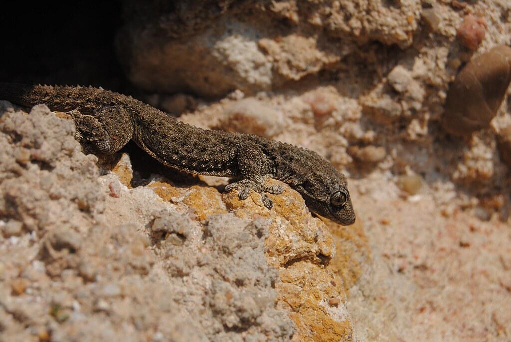 Gecko in Spain