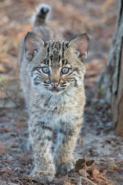 Bobcat kitten (or bobcat cub) in the wild. Sony A77 ...