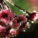 Rain drops on Hoya carnosa flowers