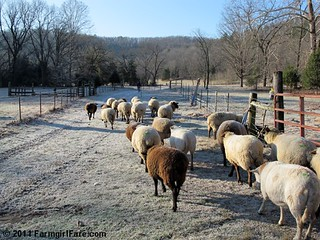 Frosty sheep heading out to enjoy the holiday | by Farmgirl Susan
