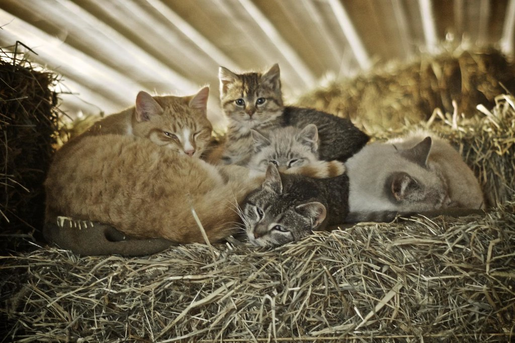 Barn Cats For Adoption Maine