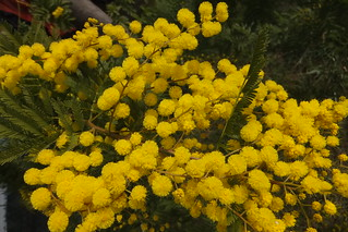 Mimose macro - Fujifilm FinePix F600EXR. from about 12 cm. | by pizzodisevo 1937 OFF..ON..OFF