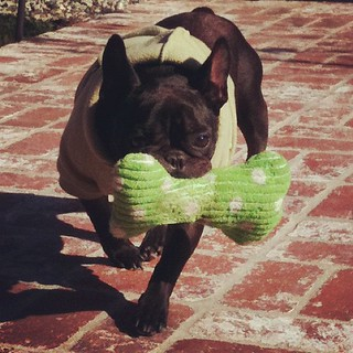 Hoody sweatshirt & squeaky bone #leroy #frenchbulldog #frenchie | by ...love Maegan