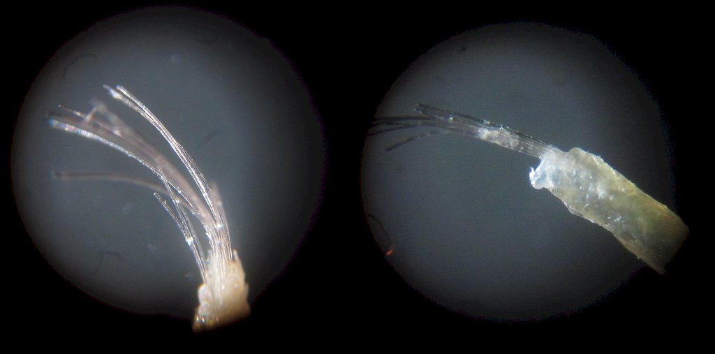 Trichostasis Spinulosa (top) | ...sounds like a tropical ...