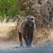 Simon's Town baboon on the roadside