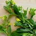 gai lan or Chinese broccoli