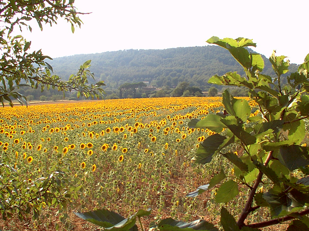 sunflower field south of france new york habitat flickr. Black Bedroom Furniture Sets. Home Design Ideas