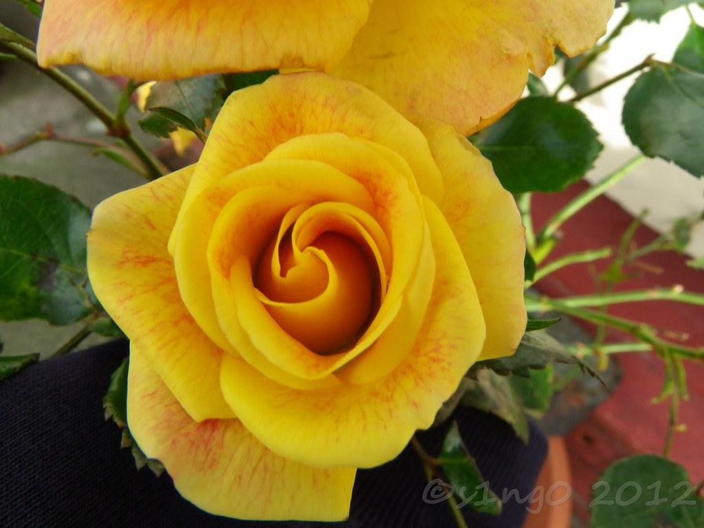 Roses Rose Bush Named Kathleen Still In Full Bloom In