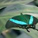 emerald swallowtail 1