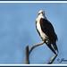 Aguila Pescadora. Osprey