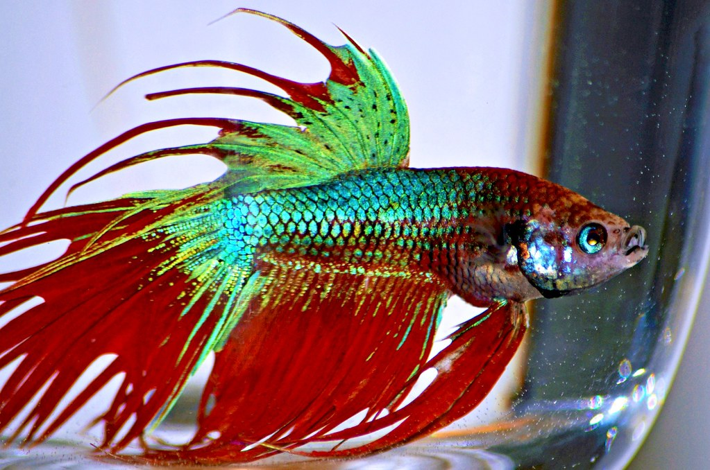Crowntail betta fish mari flickr for Crowntail betta fish