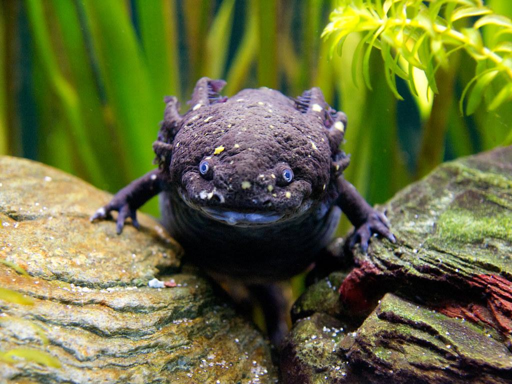 Axolotl From Wikipedia The Axolotl Is A Neotenic
