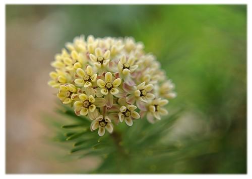 Leaf Pine Pine Leaf Milkweed