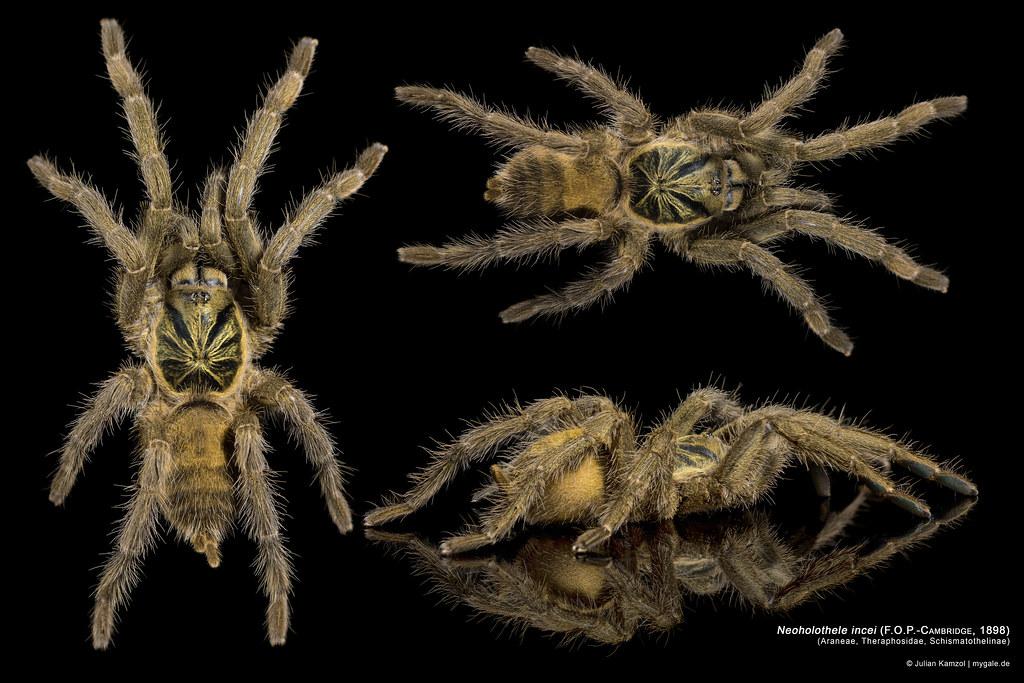 neoholothele incei 9026x6017px dwarf tarantula flickr. Black Bedroom Furniture Sets. Home Design Ideas