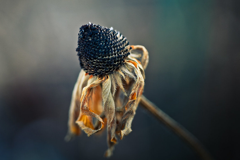 Withered | Sun-drenche...